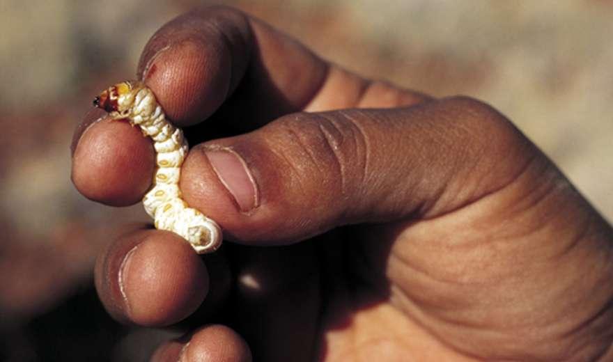 Indigenous food as medicine